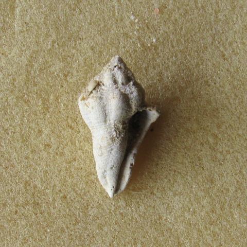 gastéropode Aquitanien Img_2225