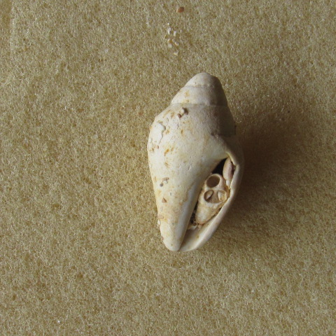 gastéropode Aquitanien Img_2227