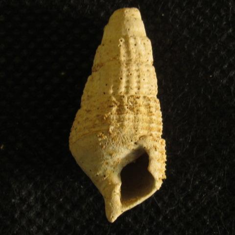 gasteropode Aquitanien (5) Img_2252