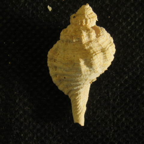 gasteropode Aquitanien (6) Img_2257