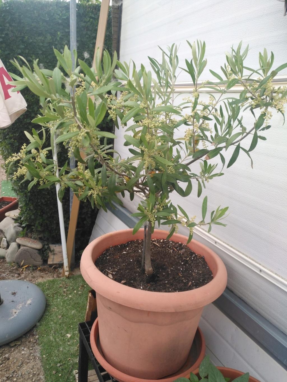 Hojas amarillas en olivo en maceta Img_2010