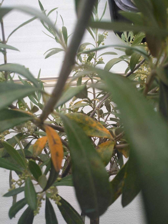 Hojas amarillas en olivo en maceta Img_2012