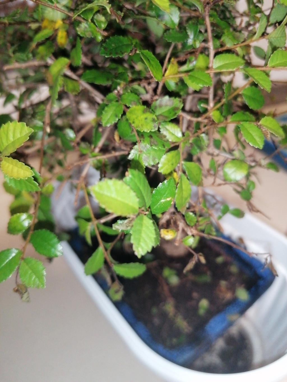 Enfermedad bonsai olmo chino 15836112