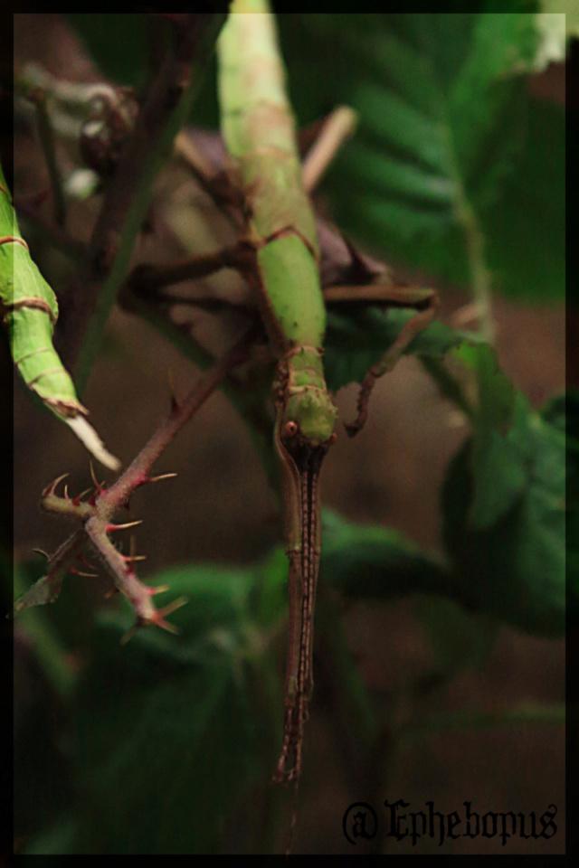 Diapherodes jamaicensis (P.S.G n°214) - Page 2 _mg_5911
