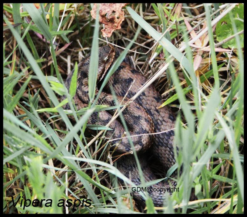 Vipera aspis & V. berus Vipera13