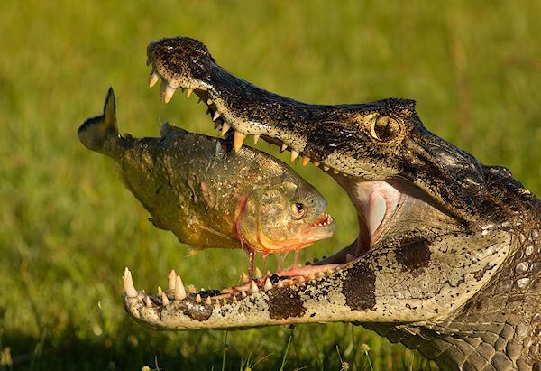 L'explication des aigreurs d'estomac Crocod10
