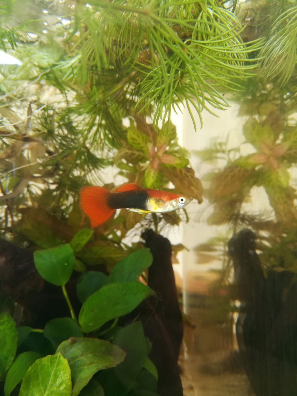 Pourriture de nageoire pectorale chez un guppy mâle Img_2011