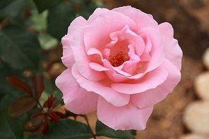Me enamoré locamente Rosa-q11