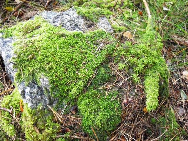 Quelques mousses et fougères vu en Suède. Cimg0112