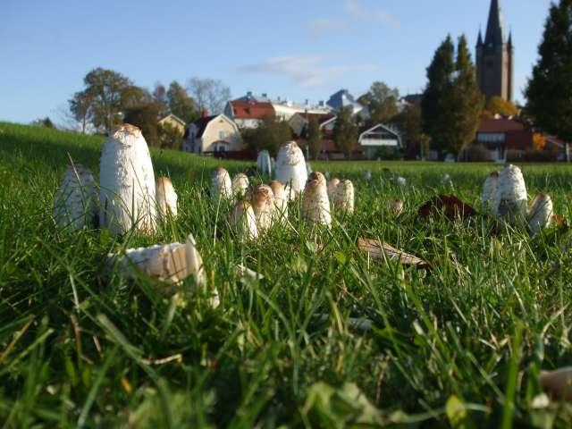 Quelques champignons vus en Suède Dscf2210