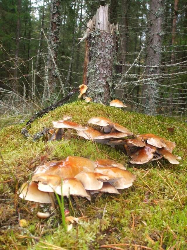 Quelques champignons vus en Suède Dscf2310