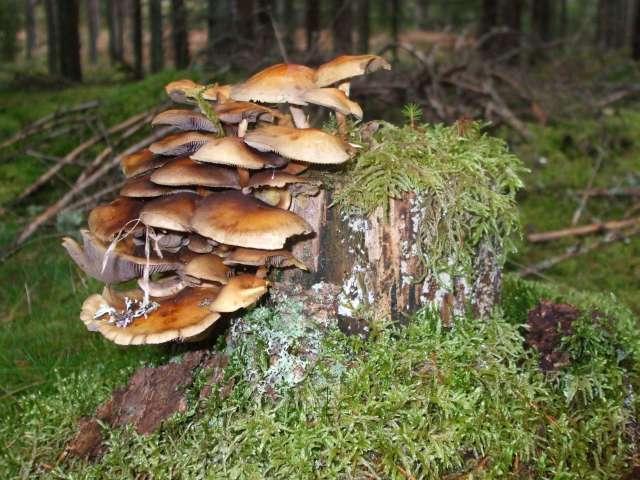 Quelques champignons vus en Suède Dscf2312