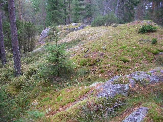 Quelques mousses et fougères vu en Suède. Dscn9221