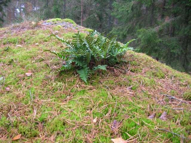 Quelques mousses et fougères vu en Suède. Dscn9222