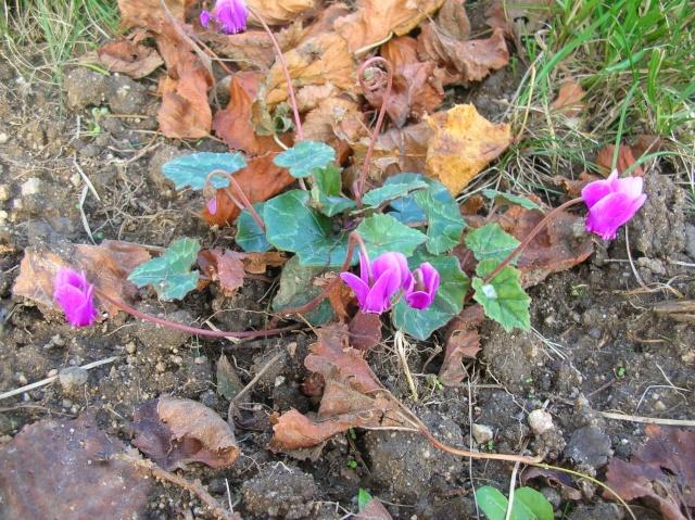 Quelques plantes du jardin Dscn8411