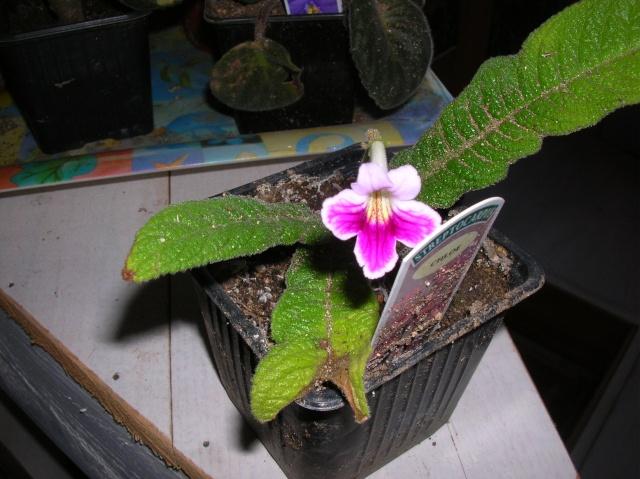 Quelques streptocarpus en fleur Dscn8417