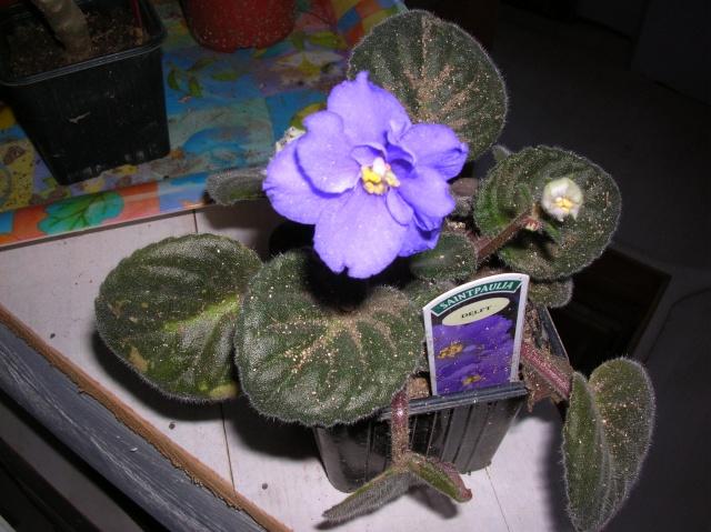 Saintpaulia en fleur Dscn8418