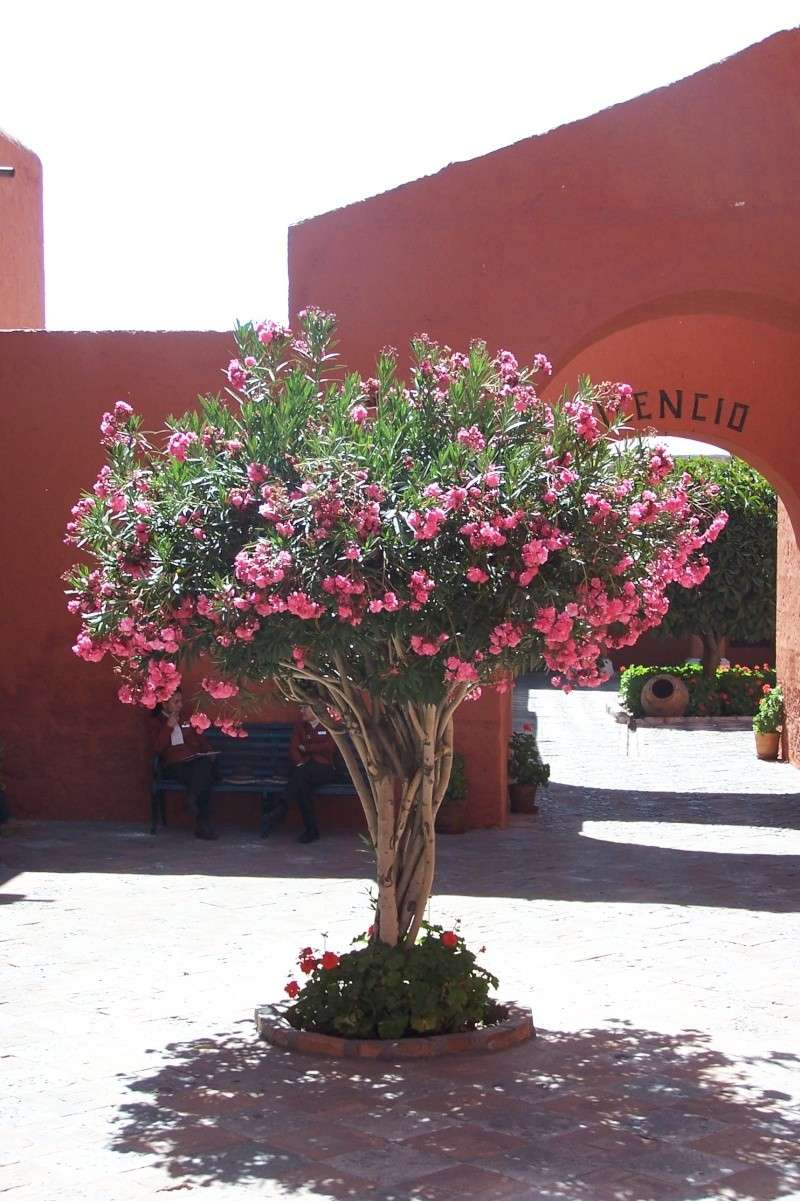 Fleur du Pérou 100_1410