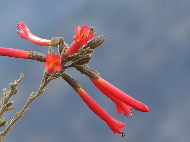 Fleur du Pérou 100_1511