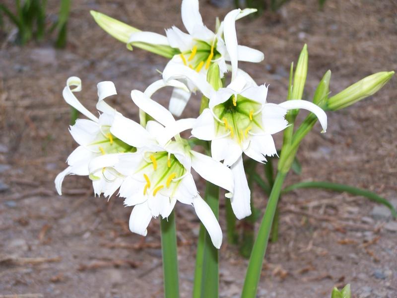 Fleur du Pérou 100_2115