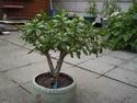 crassula en bonsai Oasis_10
