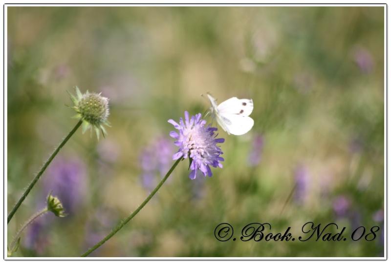 Les papillons. - Page 3 Cadrer12