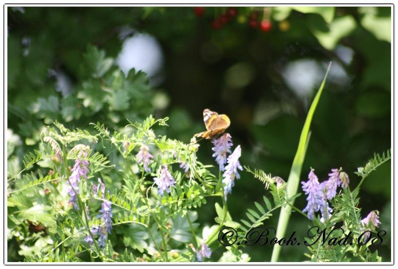 Les papillons. - Page 3 Cadrer15