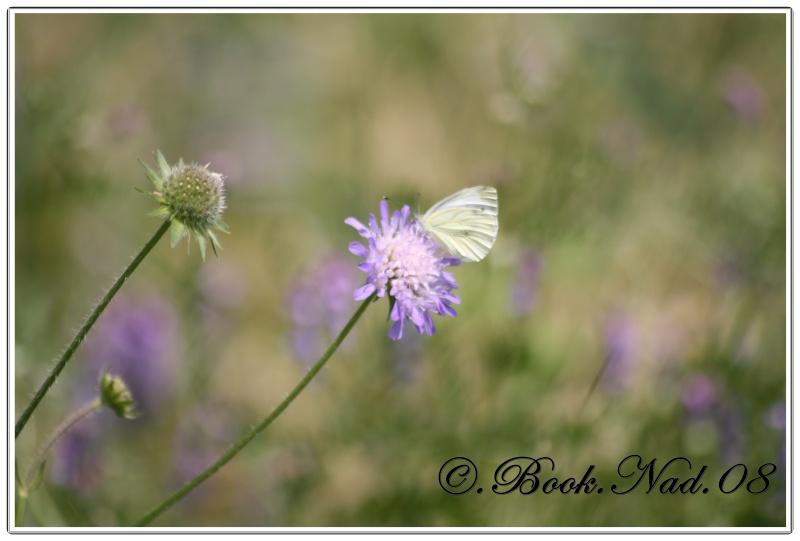 Les papillons. - Page 3 Cadrer16