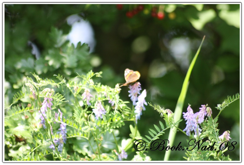Les papillons. - Page 3 Cadrer20