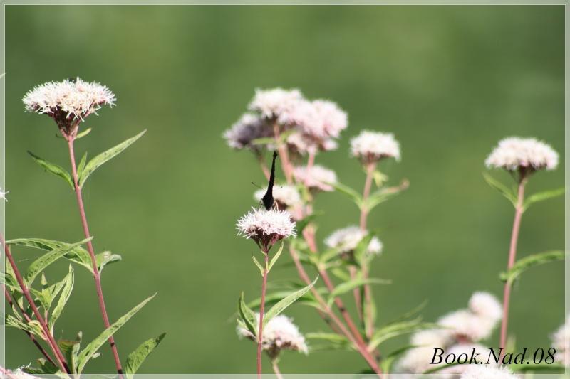 Les papillons. - Page 3 Photoc10