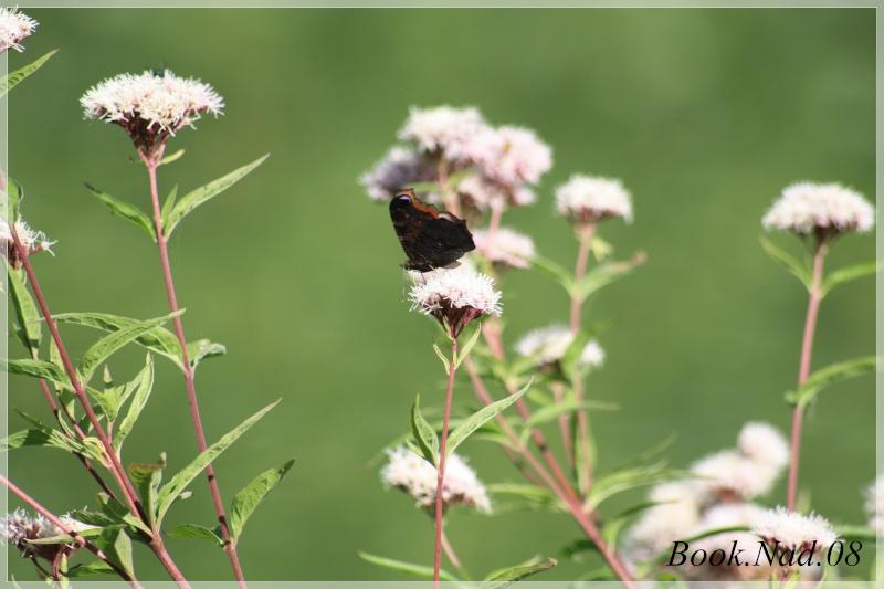 Les papillons. - Page 3 Photoc11