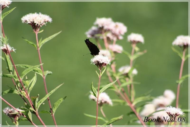 Les papillons. - Page 3 Photoc12