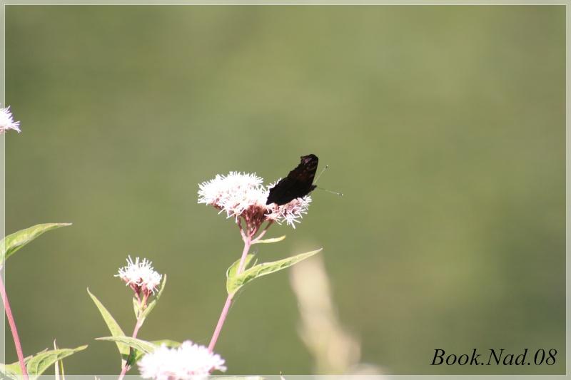 Les papillons. - Page 3 Photoc25
