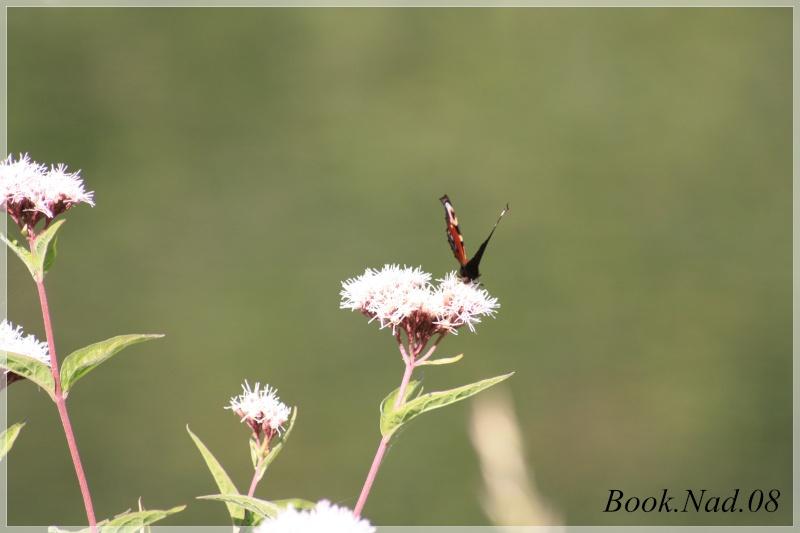 Les papillons. - Page 3 Photoc26