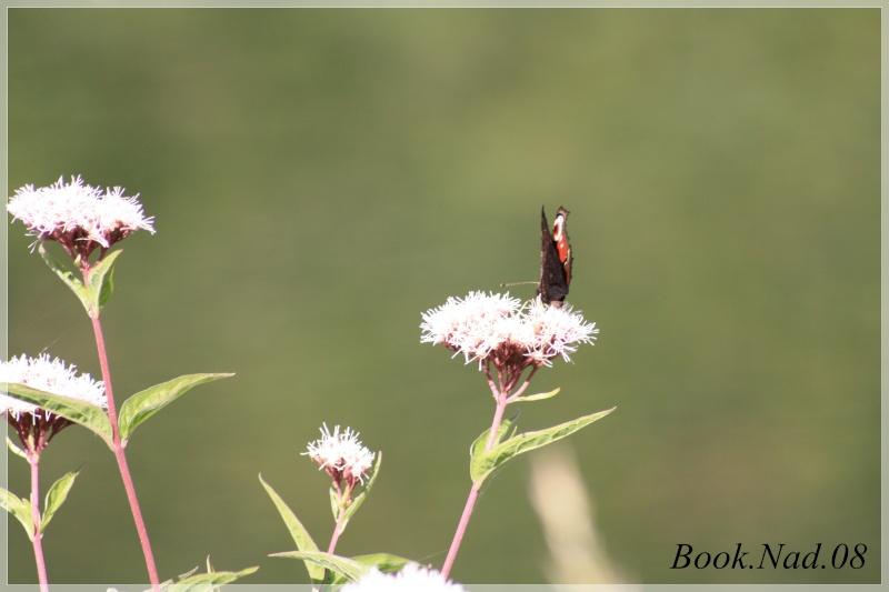 Les papillons. - Page 3 Photoc27