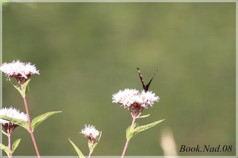 Les papillons. - Page 3 Photoc28