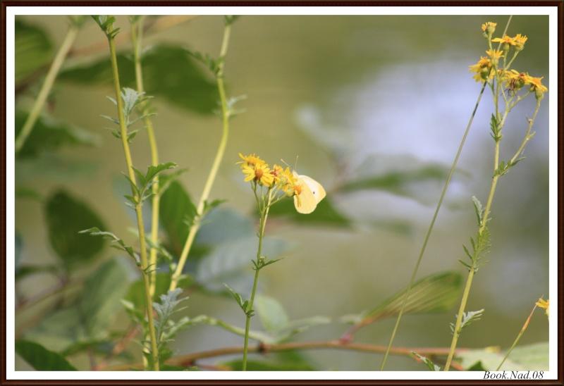 Les papillons. - Page 3 Photoc29
