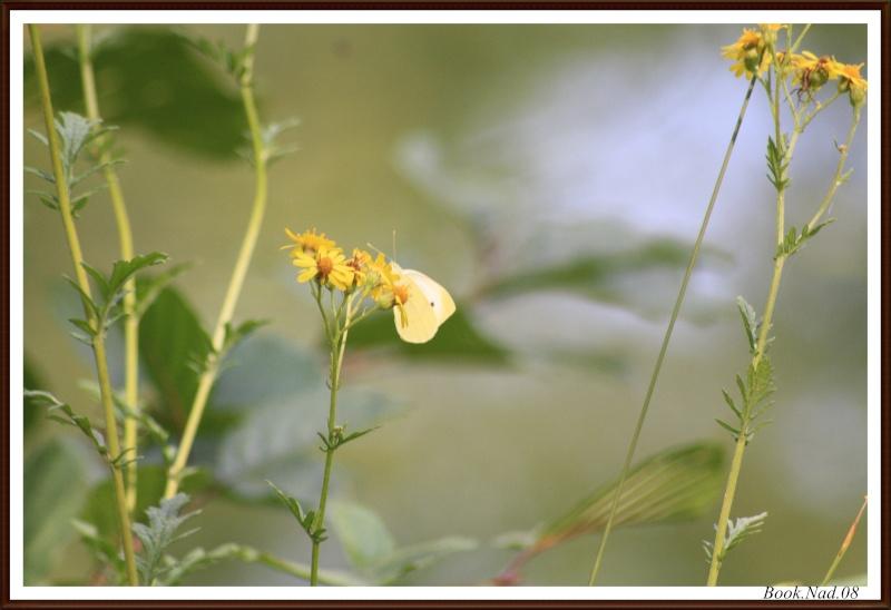 Les papillons. - Page 3 Photoc30