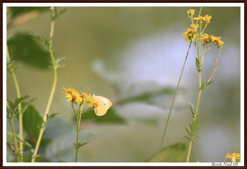 Les papillons. - Page 3 Photoc31