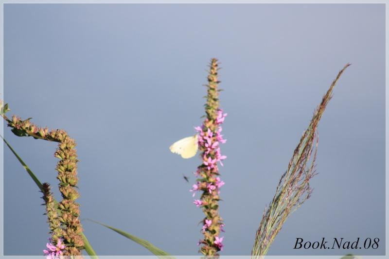 Les papillons. - Page 3 Photoc37