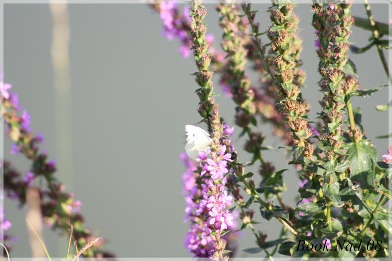 Les papillons. - Page 3 Photoc39