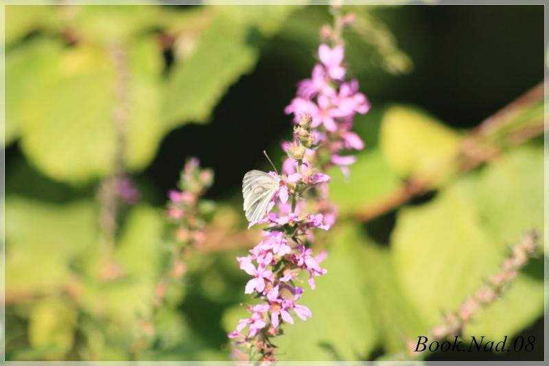 Les papillons. - Page 3 Photoc42