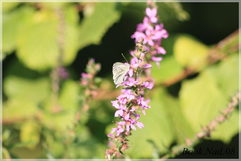 Les papillons. - Page 3 Photoc43