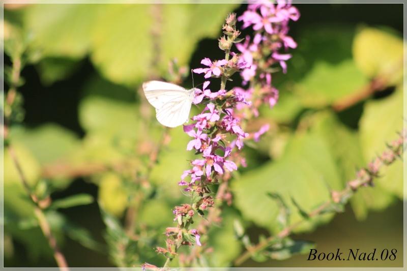 Les papillons. - Page 3 Photoc44