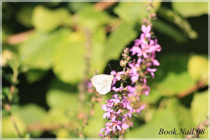 Les papillons. - Page 3 Photoc45