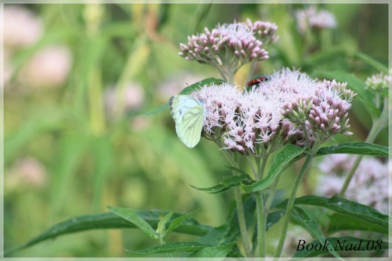 Les papillons. - Page 3 Photoc47