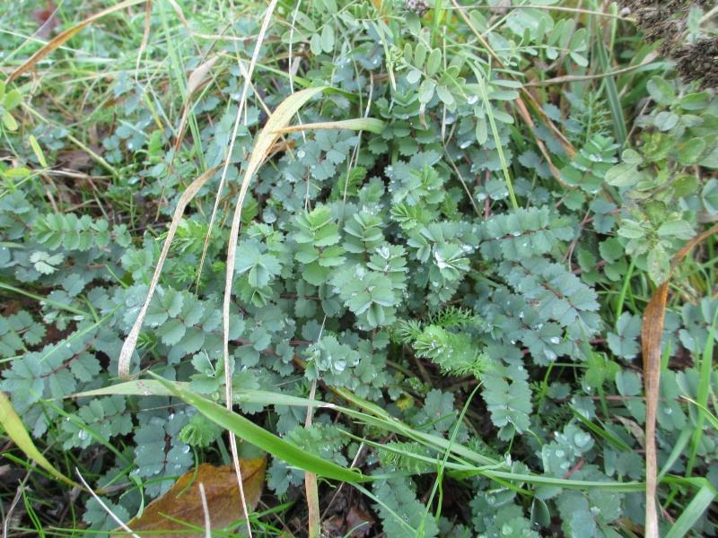 Quelques plantes alsaciennes : lierre terrestre, Rumex à feuilles obtues, porcelle enracinée, petite pimprenelle, tussilage Img_0112