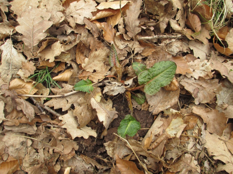 Quelques plantes alsaciennes : lierre terrestre, Rumex à feuilles obtues, porcelle enracinée, petite pimprenelle, tussilage Img_0213