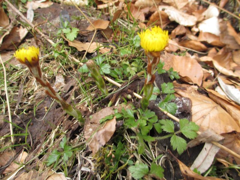 Quelques plantes alsaciennes : lierre terrestre, Rumex à feuilles obtues, porcelle enracinée, petite pimprenelle, tussilage Img_0215