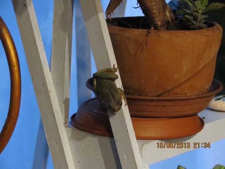 grenouilles  Img_6211